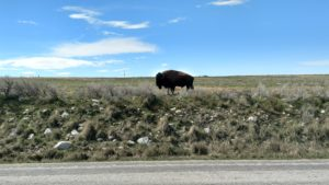 Bison on the side of the road